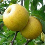 pomme Belchard-Chantecler